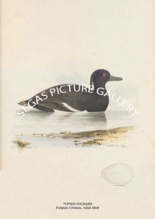TUFTED POCHARD - Fuligula Cristata, Adult Male